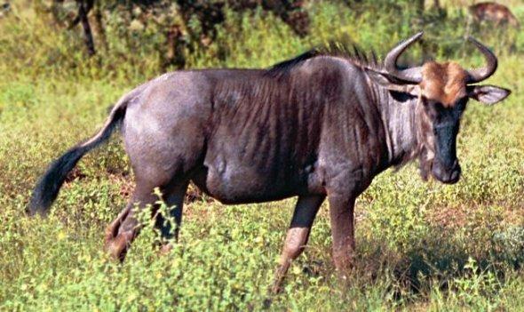 Black-wildebeest-aka-gnu